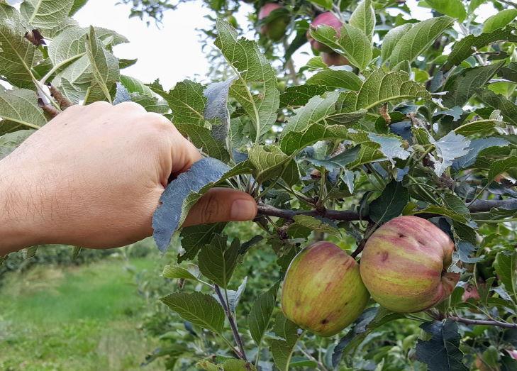 Hagelschaden Obstbau Äpfel